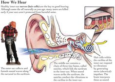 How We Hear - most common questions that we get regarding hearing protection. - USE PlugsSafety!