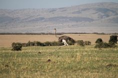 Female Ostrich chasing the male Ostrich down ha ha ha