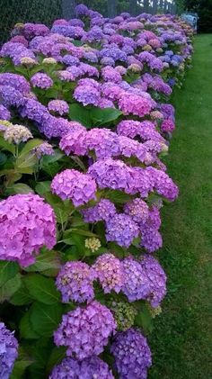 All Things Shabby and Beautiful Hortensia Hydrangea, Hydrangea Garden, Hydrangea Flower, Flowers Nature, Exotic Flowers, Purple Flowers, Beautiful Flowers, Plantas Bonsai, Garden Care