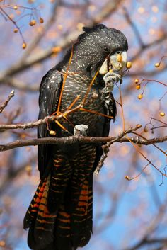 Red-tailed Black Cockatoo - Western Australia. So pretty! I want this bird!