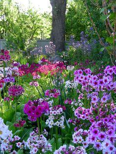 Beautiful Japanese Primroses (Primula japonica)