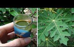 Pudo curar la diabetes con el té de hojas de papaya