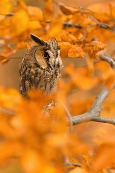 Owl sitting in a bright orange fall tree