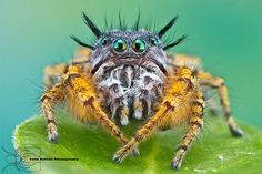 Phidippus mystaceus by Colin Hutton Photography