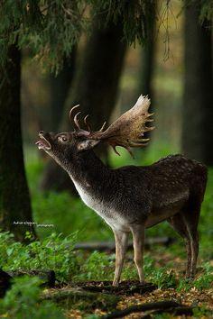 Rutting Call, Fallow Deer, Germany