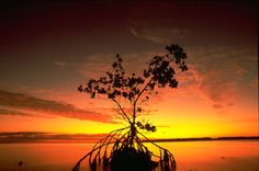 Mangrove silhouetted by the sunset - photo by: Smith, RH