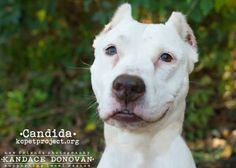 12 / 17    ***SENIOR***  Petango.com – Meet Candida (Candy), a 7 years 1 month Terrier, Pit Bull / Mix available for adoption in KANSAS CITY, MO Contact Information Address  4400 Raytown Road, KANSAS CITY, MO, 64129  Phone  (816) 513-9821  Website  http://www.kcpetproject.org  Email  info@kcpetproject.org