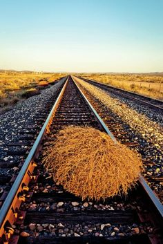 Tumbleweeds, seen all over the high plains of West Texas, disperse seeds as they roll.