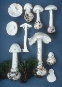 Amanita Virosa, Deadly Mushroom, Roger's Mushrooms Poisonous Mushrooms, Mushroom Pictures, Fungi, Stuffed Mushrooms, Stuff Mushrooms, Mushrooms