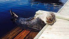 """Exceptional guest basked on Riitta's pier - """"Rare fearless ringed seal"""" Copyright: Riitta Niittylä. Kuva: Riitta Niittylä."""