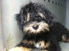 A4541488 URGENT DOWNEY SHELTER is an adoptable Terrier Dog in Downey, CA. **WE NEED VOLUNTEERS TO POST & REMOVE PETS ON PETFINDER. IF YOU CAN COMMIT TO THE CAUSE OF HELPING SAVE SHELTER ANIMALS, PLEAS...