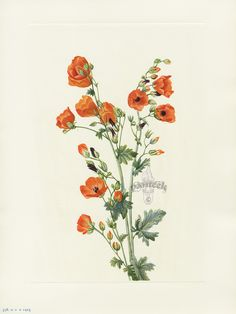 "Antique prints of ""Scarlet Globe-mallow"" from Walcott North American Wild Flowers 1925"