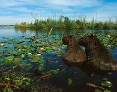 Carpinchos en los Esteros del Iberá Rhodesian Ridgeback, South America Travel, Mundo Animal, Culture, Fauna, Where The Heart Is, Mammals, Beautiful Places, Adventure