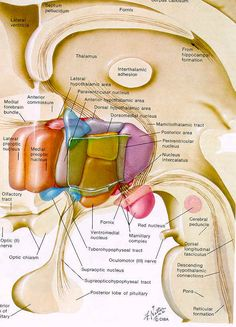 Nuclei of the hypothalamus