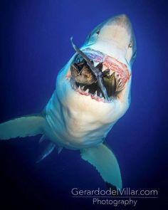 Animals Discover Predators and Preys Photos is part of Shark - And other stuff Orcas Hai Tattoo Save The Sharks All Sharks Shark Bait Shark Shark Deep Sea Creatures Weird Creatures Wale Orcas, Hai Tattoo, Save The Sharks, All Sharks, Shark Bait, Shark Shark, Deep Sea Creatures, Weird Creatures, Underwater Life