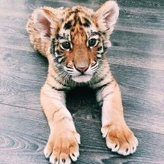 Little tiger ❤