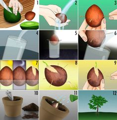 How to Grow an Avocado Tree from an Avocado Pit