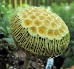 Amazing Fungi: Photography by Steve Axford Wild Mushrooms, Stuffed Mushrooms, Foto Nature, Slime Mould, Plant Fungus, Mushroom Fungi, Mushroom Seeds, Yellow Mushroom, Seed Pods