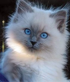 Ragdoll Colors and Patterns