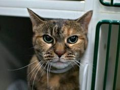 *** TO BE DESTROYED 12/14/16 ***  *RETURN* Kitty is a delightful senior girl with an appetite for affection! She has a beautiful coat and lovely green eyes, and her favorite pastime seems to be spending as much time as possible with people! Her previous owner stated she was a little tense around their small dog, but overall she's genuinely quite a friendly girl. She can go to a beginner kitty home!