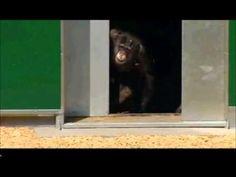 Lab Chimps Laugh And Hug At Taste Of Freedom