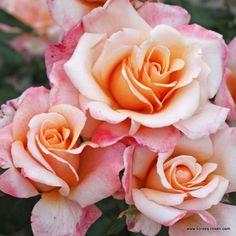 KORDES Rosen Oh Happy Day ® - Gartenrosen Die schönsten Rosen der Welt