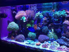 Is DSB crash just a myth? Marine Aquarium, Reef Aquarium, Saltwater Aquarium, Aquarium Fish Tank, Nano Tank, Fish Art, Under The Sea, Corals, Room Inspiration