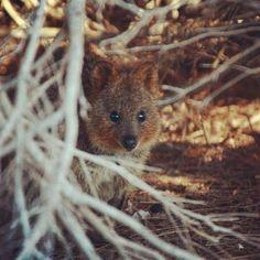 Greetings from WA. Wishing you an awesome Sunday wherever you are. @babu37 snapped this cute little guy on Rottnest Island.  #myredballoon #givesharelive #quokka #wa #Australia #westernaustralia #adventure #scenic #beaches #nature #travel #travelgram #instatravel #seeaustralia #wanderlust #rottnestisland #weekend by redballoonexperiences http://ift.tt/1L5GqLp