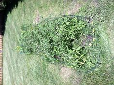 Tomato & herb garden update 6-28-13. Lots of flowers are on the tomato plants now!