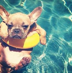 french bulldog chillin' in the pool
