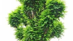 Falsas acacias