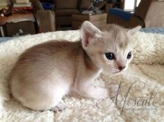 Singapura Kitten, Fagervoll Cosmo JR of Moscato. 4 Weeks Old: Kittens Cutest, Cats And Kittens, Kitty Cats, Singapura Cat, Funny Animals, Cute Animals, Exotic Cats, Abyssinian, Cat Breeds