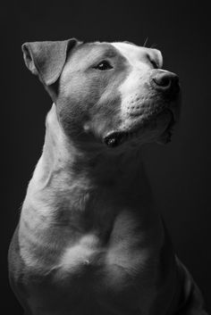 My cousins pitbull Webster, looking very regal,lit with a beauty dish in their living room:)