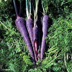 Purple Haze Hybrid Carrot 75 days.   70 days. What will they think of next?? Here is the first-ever hybrid purple Carrot -- a return to the distant past when wild carrots were naturally purple. Very vigorous and easy to grow, this delicious vegetable will be the centerpiece of your garden and the talk of the neighborhood! Purple Haze is a Nantes-type carrot, with strong growth and a delectable sweet flavor. Its rich purple color extends only as far as the core, which remains bright orange…
