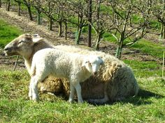 Mother sheep with its lamm