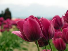 Tulips by UpmaSharma, via Flickr