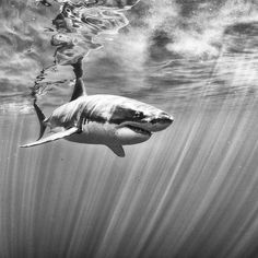 Anuar Patjane shoots incredible black and white images of life beneath the sea, bringing you into a world few of us ever see. Beneath The Sea, Under The Sea, Orcas, Underwater Photography, Animal Photography, Hai Tattoos, Tatoos, Small Shark, Shark Art