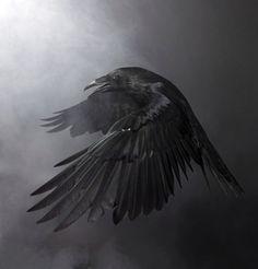 Best Raven Bird Stock Photos, Pictures & Royalty-Free Images - Raven Bird Pictures, Images and Stock Photos – iStock - Raven Pictures, Bird Pictures, Pictures Images, Crow Images, Raven Bird, Quoth The Raven, Dark Fantasy Art, Dark Art, Rabe Tattoo