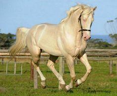 Cremello Czech warmblood stallion, Amor, in motion.