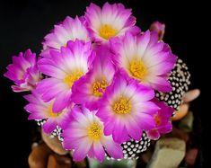 Mammillaria luethyi della famiglia delle Cactacee