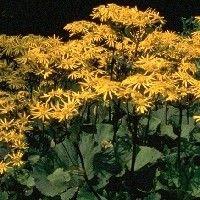 Ligularia dentata 'Othello' (Kruiskruid) Schaduwplanten