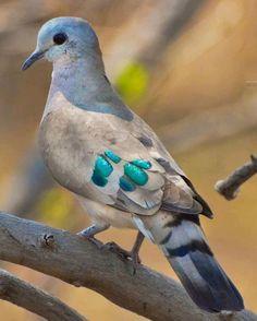 Zümrüt Benekli Ahşap Güvercini (Turtur Chalcos )