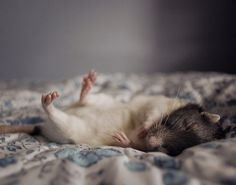 Oh how I love little ratties.....