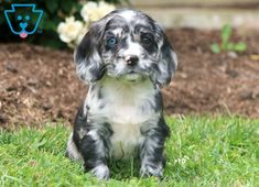 This sweet Cocker Spaniel puppy will be a lovely addition to your family. He is quite the prince charming and will surely be the talk of the town. Cute Puppies For Sale, Spaniel Puppies For Sale, Cute Dogs, Sprocker Spaniel Puppies, Cocker Spaniel, Rottweiler Puppies, Prince Charming, Archie, Dog Pictures