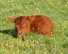 """""""a miniature cow!"""" (this is clearly a baby cow. but i know one city person who thought baby cows were mini cows) Cute Baby Cow, Baby Cows, Cute Cows, Baby Elephants, Baby Baby, Pretty Animals, Cute Little Animals, Animals Beautiful, Fluffy Cows"""