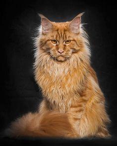 Ein Mann macht die schönsten Fotos von Maine Coon Katzen. Solche hast du noch nie gesehen! - DIY Bastelideen