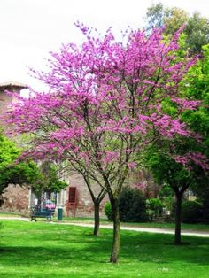 Cercis siliquastrum Judas tree Flowers sprout from bare branches Purple seed pods Deciduous Trees, Trees And Shrubs, Flowering Trees, Forest Garden, Garden Trees, Judas Tree, Pot Jardin, Shade Trees, Shade Flowers