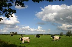Dutch cows in the meadow.