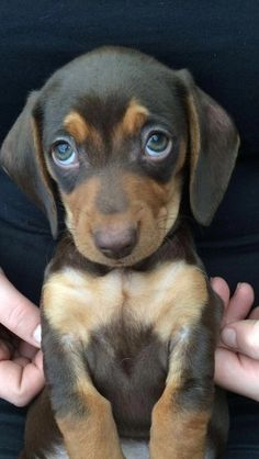 Dachshund Puppy Here you will find the best dachshund products, including dachs. Dachshund Puppy H Dachshund Gifts, Dachshund Puppies, Weenie Dogs, Cute Dogs And Puppies, Dachshund Love, Dachshund Clothes, Puppies Puppies, Doggies, Funny Puppies