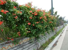 Plant photo of: Distictis buccinatoria - Blood-Red Trumpet Vine (front of house)